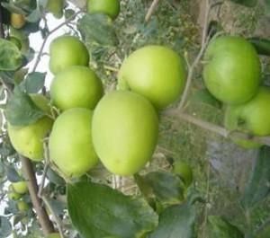 Giống cây táo đài loan