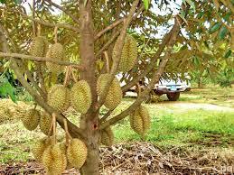 Giống cây sầu riêng thái