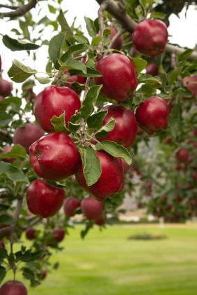 Giống cây táo đỏ