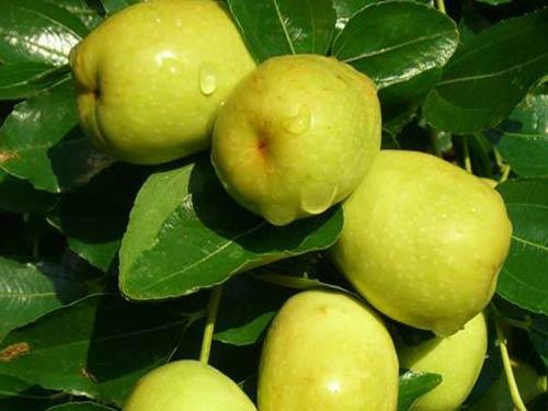 Giống cây táo đào vàng