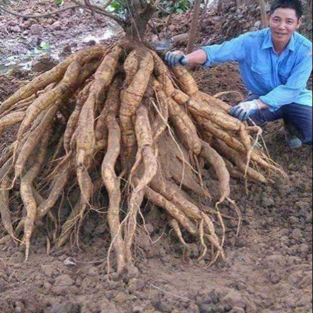 Giống cây sắn dây cao sản