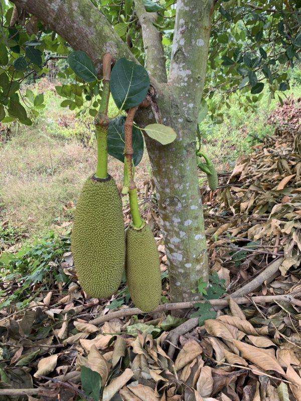 Giống cây mít malaisia